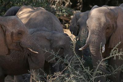 Éléphant du désert - Loxodonta africana - (desert) African Elephant Huab river, Namibia