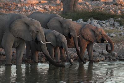 Éléphant de savane d'Afrique - Loxodonta africana - African Elephant Etosha NP, Namibia