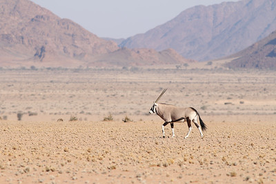 Oryx - Oryx gazella - Gemsbok Namibia