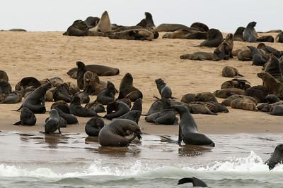 Otarie à fourrure d'Afrique du sud - Arctocephalus pusillus - Brown fur Seal Walvis Bay, Namibia