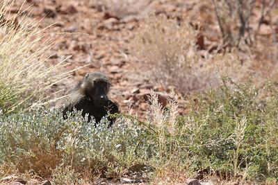 Babouin chacma - Papio ursinus - Chacma Baboon Twyfelfontein lodge, Namibia