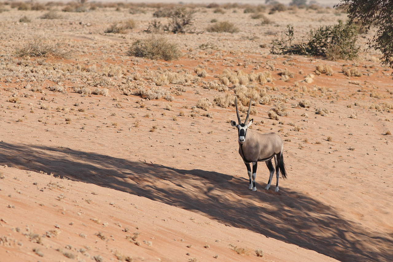 Oryx - <i>Oryx gazella</i> - Gemsbok <br>Namibia