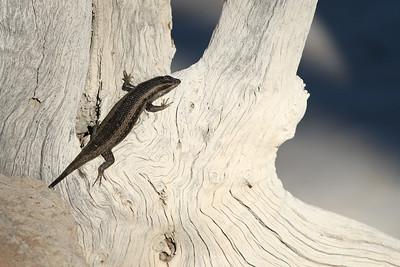 Scinque - Trachylepis striata - Striped skink