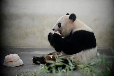 Panda Eat Ice