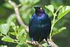 Glossy Starling