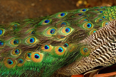 The peacocks beautifully iridescent ocelli  Waimea Valley Botanical Garden, North Shore of O'ahu, Hawai'i