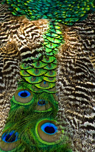 The peacocks beautifully iridescent body of feathers Waimea Valley Botanical Garden, North Shore of O'ahu, Hawai'i