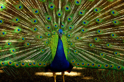 "The male (peacock) has beautiful iridescent blue-green or green coloured plumage. The ""tail"" or ""train,"" isn't the true tail but the highly elongated upper tail covering.   The train feathers have a series of eyes that are best seen when the tail is fanned. Both species have a head crest. Waimea Valley Botanical Garden, North Shore of O'ahu, Hawai'i"