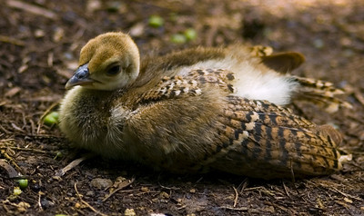 Adorable peachick relaxing Waimea Valley Botanical Garden, North Shore of O'ahu, Hawai'i