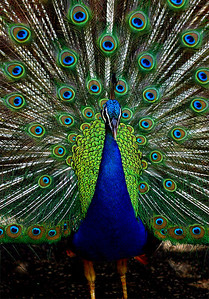 Many of the brilliant colors of the peacock plumage are due to an optical interference phenomenon based on periodic nanostructures found in the barbules (fiber-like components) of the feathers Waimea Valley Botanical Garden, North Shore of O'ahu, Hawai'i