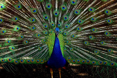 Peacock trying to attract a peahens attention Waimea Valley Botanical Garden, North Shore of O'ahu, Hawai'i