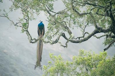 Peacock (Pavo cristatus), Roosting in tree, Yala National Park,