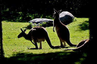 Kangaroo Sentinels