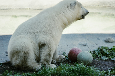 Humphry, the 7 month old Polar Bear cub