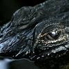 American Alligator Eye