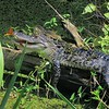 <b>Title - Alligator with Julia Butterflies 2</b> <i>- Kristen Murtaugh</i>