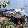 <b>Title - American Alligator</b> <i>- Jean Dowling</i>