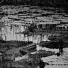 Alligator Amongst Lily Pads