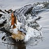 Description - Alligator Lunges for Fish on a Line <b>Title - An Alligator Gets a Quick Meal</b> 3rd Place <i>- Anne Dignam</i>