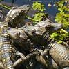 Description - Baby Alligators <b>Title - Hatchlings at Loxahatchee Entrance</b> <i>- Kevin Kovacs</i>