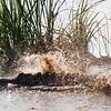 Alligator Heading to Deeper Water