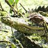 <b>Title - Juvenile Alligator</b> <i>- Kevin Kovacs</i>