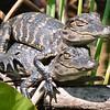 Piggyback Gator Babies