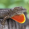 Description - Male Anole with Dewlap <b>Title - Brown Anole Displaying</b> <i>- Jean Dowling</i>