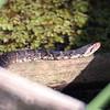 Description - Water Moccasin <b>Title - Sunbathing Water Snake</b> <i>- Jeffrey Hall</i>