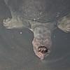 <b>Title - Softshell Turtle Surfacing</b> <i>- John Siegel</i>