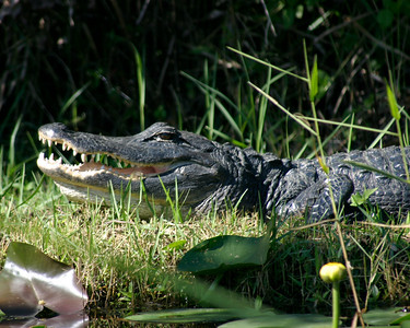 Alligator, Everglades, October 2006