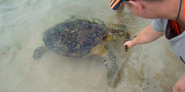 Sea turtle at the beach i Hikkaduwa