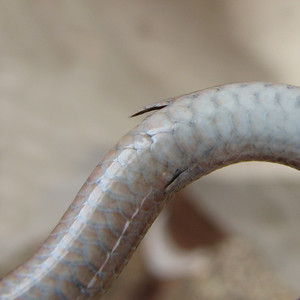 Striped Legless Lizard - Legs