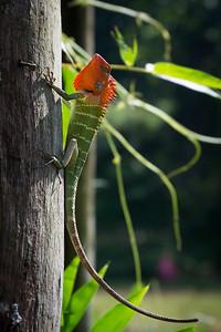 Green Forest lizard (calotes calotes)