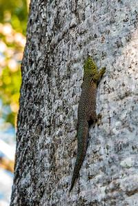 Standing's day gecko (Phelsuma standingi)