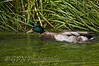 Mallard struggling upstream!