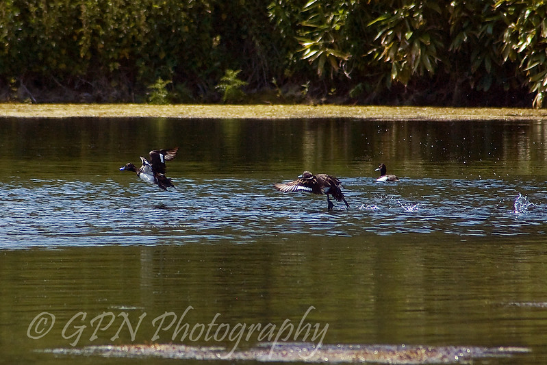 Goldeneyes taking off