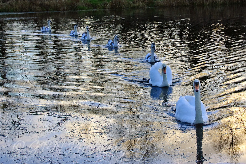 A family of swans in formation