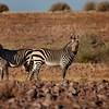 Namibia - Kalahari Desert - Zebras