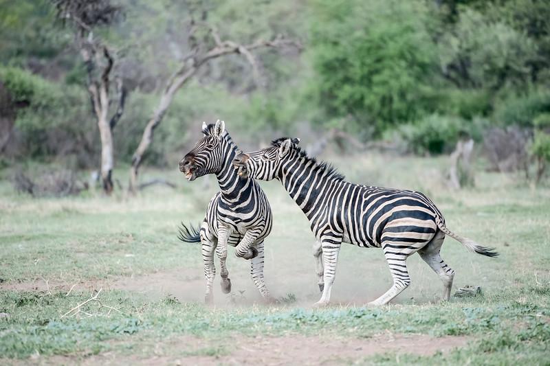 """Burchell""""s Zebra (Equus zebra)"""