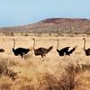 Namibia - Kalahari Desert - Flock of Ostriches