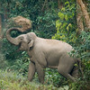 Asian or Asiatic Elephant (Elephas maximus), Throwing sand onto