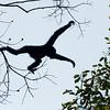 Western Hoolock Gibbon (Hoolock hoolock) Male jumping, Gibbon Wi