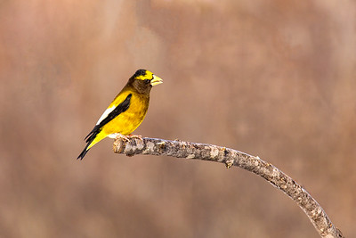 Evening Grosbeak (Male)
