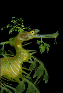 Leafy Seadragon Seadragons have a specific level of protection under fisheries legislation federally and in most Australian states where they occur, such that it is illegal to take or export them without a permit.