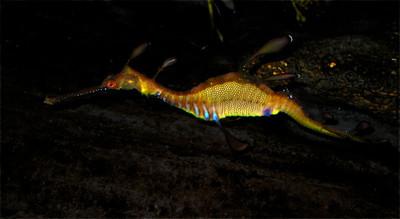 Weedy Seadragon  Phyllopteryx taeniolatus