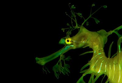 The Leafy Seadragon (Phycodurus equesis)  is an incredibly beautiful creatureSea Dragons are arguably the most spectacular and mysterious of all ocean fish. Though close relatives of sea horses, sea dragons have larger bodies and leaf-like appendages which enable them to hide among floating seaweed or kelp beds.