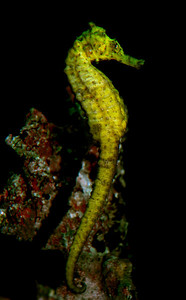 Seahorse  Order: Gasterosteiformes, Family: Syngnathidae, Genus: Hippocampus, Species: Hippocampus erectus