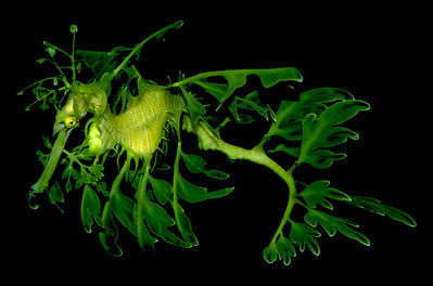 The leafy seadragon, a cousin to the seahorse, gracefully swims in the water moving like swaying seawood.