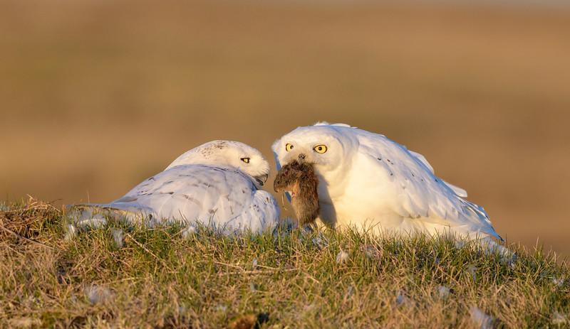 Snowy Owl Couple